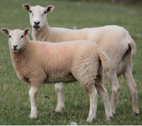 Picture of Korban Lamb 2018 (Australia)